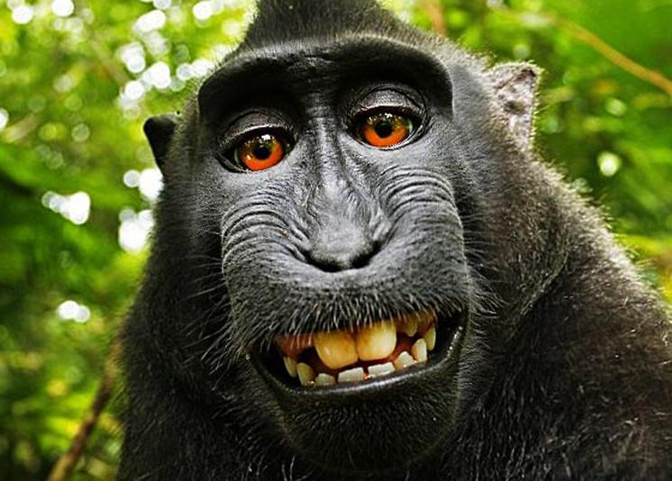 wikipedia no retirar la foto los derechos son del mono que se hizo el selfie. Black Bedroom Furniture Sets. Home Design Ideas